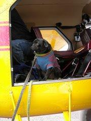 Traveling Pug