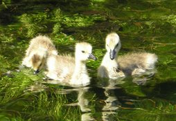 You can feel as fuzzy and cute as these little geese