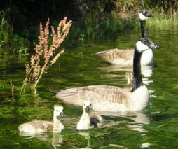Canadian geese family-a wonderful sight