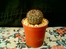 Notocactus submamulosus