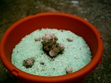 Mammilaria gracilis