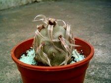 Teprhocactus articulatus
