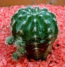 Echinopsis arachnacantha