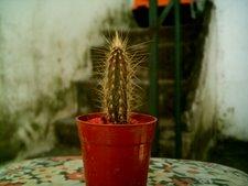 Cleistocactus 1