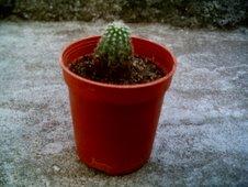 Cleistocactus variedad...