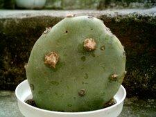 Opuntia quimilo