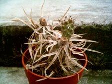 Tephrocactus articulatus papyracanthus