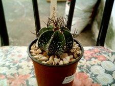 Astropythum hibrido