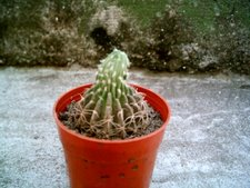 Echinopsis ancistrophora u obrepanda?