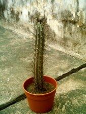 Cereus aethiops
