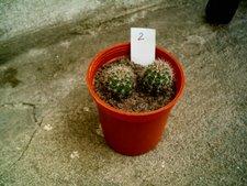 Echinopsis 1