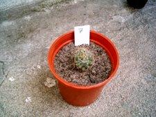 Mammillaria dolichothele