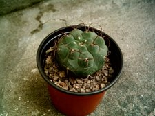 Gymnocalycium riojensis pausispinum