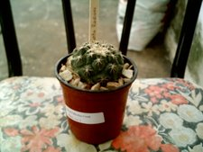 Coryphantha radians