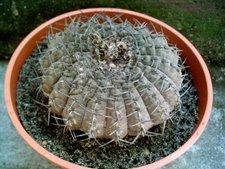 Gymnocalycium bondenbenderianum