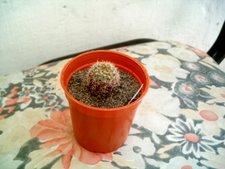 Notocactus 1