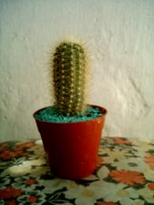 Helianthocereus orunensis