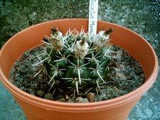 Notocactus mamulosus