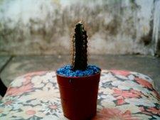 Cereus argentinensis