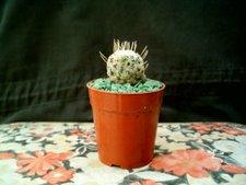 Mammillaria crinita