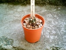 Ferocactus wislizenii herrerae