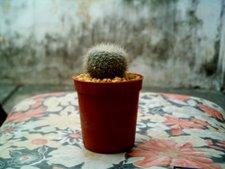 Brasilicactus hasselbergii