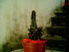 Cereus peruvianus monstruoso