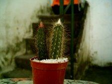 Cleistocactus 2