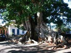 Figueira centenária: Força das raízes, vida longa
