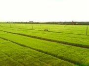 Paddy field 2