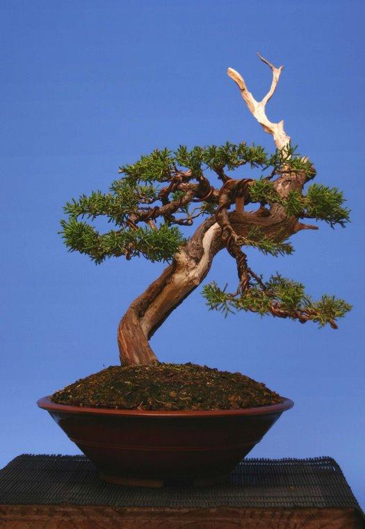 Trasplantado en Tiesto Tokoname y Colocación de ramas.                     Año 2007