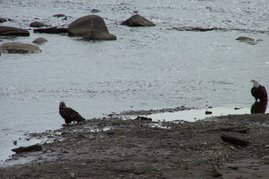 Immature and bald eagles~Ninilchik River