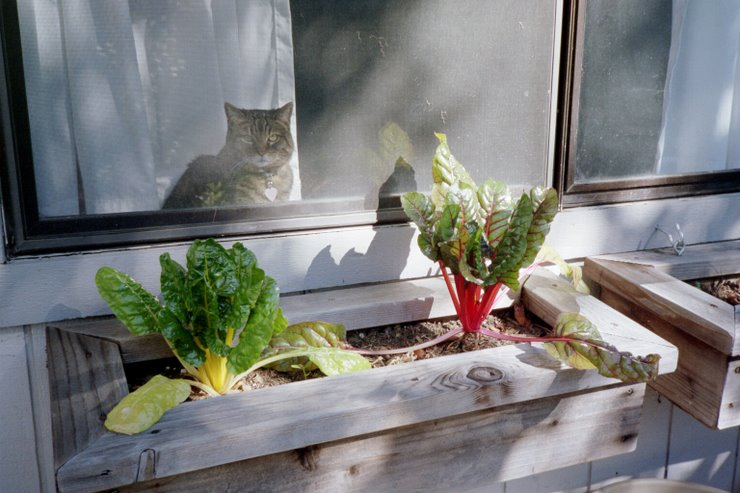 window box chard