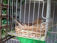 Fanella nordica nel nido