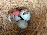 Fanelli nordici appena nati