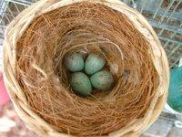 Nido e uova di organetto