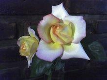 Una rosa sola