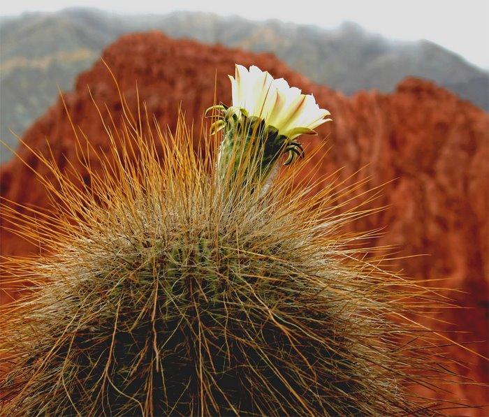 flor de cardon(foto Fabio Deferrari)