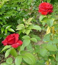 Presenting Two Red Roses And A Rosebud