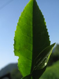 One of 13 Sencha Varietals