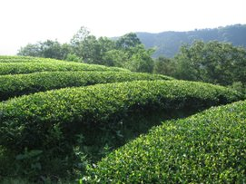Neatly Pruned Tea Fields