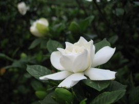 Gardenias at Wenshan