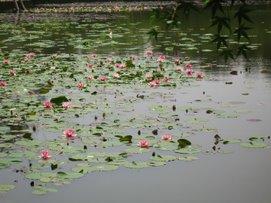 Ryo An Ji Water Lily Garden
