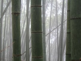 Foggy Bamboo Forest