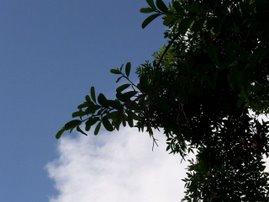 Las nubes como capullos de algodón...se asoman tímidamente por entre las ramas del fresno...