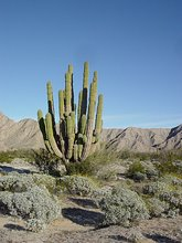 Photo Giant Cactus
