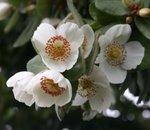 Flores de ulmo