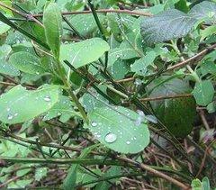 Gotes d'aigua sobre fulles verdes
