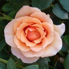 Roses! Roses! [Peachy]