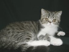 Brown Tabby & White Exotic Male (Neutered)